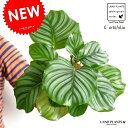 【お試しサイズ】 NEW!! カラテア オルビフォリア 白色プラスチック鉢セット 4号サイズ Calathea orbifolia クズウコン 敬老の日 ポイント消化 観葉植物