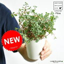 NEW!! ピレア・グラウカ 白色プラスチック鉢セット 4号サイズ 多肉質の植物・Pilea・アサバソウ 敬老の日・ポイント消化・観葉植物・多肉植物