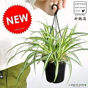 【お試しサイズ】 NEW!! オリヅルラン 吊り鉢 4号サイズ Chlorophytum comosum・折鶴蘭・オリズルラン ポイント消化・観葉植物