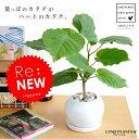 new!! ハートリーフ ウンベラータ 白色丸形陶器鉢に植え...