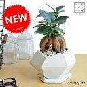 NEW!! がじゅまる 多角形(ホワイト) ポリゴン陶器鉢に植えた ガ...