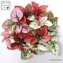 ヒポエステス(ミックスカラー) 白色 丸型 陶器鉢 (黄色小石) ソバカスソウ 敬老の日 ポイント消化 観葉植物