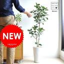 【 観葉植物 】 H110cm フランスゴム 白色マット色丸型陶器のゴム ゴムの木floor green series フランスゴムの木 敬老の日 ポイント消化 観葉植物