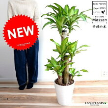 幸福の木マッサンゲアナ白セラアート鉢に植えたドラセナマッサン祝い花ドラセナ・マッサン・ゲアナ(Massangeana)敬老の日ポイント消化観葉植物