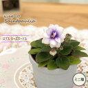 セントポーリア ロブスルーズヌードル 3号鉢 ミニ種 鉢花 ...