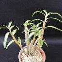 長生蘭 銀河 2.5号鉢 チョウセイラン 古典植物 敬老の日 山野草 kih
