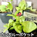 カンガルーポケット 2号【観葉植物】【インテリア】【室内園芸】【可愛い】【ピンク】
