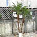 多肉植物苗エケベリアローラ6cmポット
