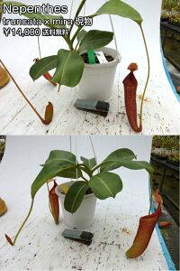 観葉植物面白植物食虫植物ネペンテストランカータxミラ