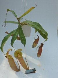 食虫植物ネペンテスオリジナル交配ビーチxミランダ