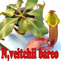 【送料無料】生産温室から直送!食虫植物ネペンテスビーチバリオストライプ