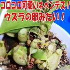 食虫植物 ネペンテス アンプラリア斑点  面白植物 観葉植物【自由研究】