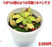 食虫植物ネペンテスアンプラリア斑点N,ampullaria斑点面白植物観葉植物