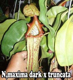 食虫植物ネペンテスマキシマダークxトランカータ