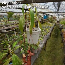 【面白植物】食虫植物ネペンテス(ベントリコーサxシブヤンエンシス)スクワットx(ベントリコーサxシブヤンエンシス要するに(ベントリコーサxシブヤンエンシス)のシブクロス