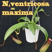 生産温室から直送!食虫植物ネペンテスベントリコーサxマキシマ