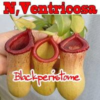 観葉植物生産温室直送食虫植物ネペンテスベントリコーサレッド