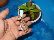 食虫植物 ネペンテス フカクサーナ ノーシアナ