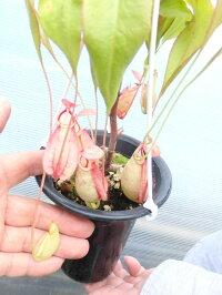 生産温室から直送!食虫植物ネペンテスバイキングNo8216