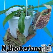 食虫植物 ネペンテス フーケリアナ hookeriana
