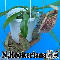 観葉植物食虫植物生産温室直送ネペンテスフーケリアナ斑点Nepentheshookeriana10P12Oct14