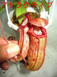 観葉植物食虫植物生産温室直送ネペンテスアトラクティブフソー
