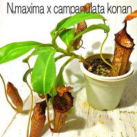 観葉植物食虫植物産温室直送ネペンテスバイキングxカンパニュラータコナン