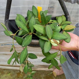 NEW【観葉植物】Hoyazambalesホヤザンバレス