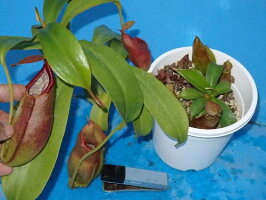 生産温室から直送!食虫植物ネペンテスアドリアニ