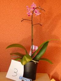 ミニ胡蝶蘭生産温室から直送アマビリスxエクエストリス現物商品鉢吊具付
