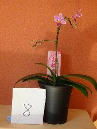 胡蝶蘭小型原種ファレノプシスエクエストリス
