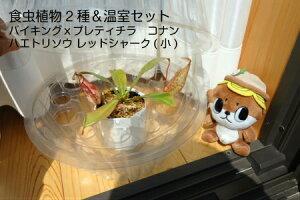 食虫植物2種セットハエトリソウレッドシャーク(小)&バイキングxプラティチラコナンミニ温室セット