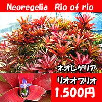 生産温室直送ネオレゲリア'リオオブリオ'【着生植物】【アナナス】【自由研究】