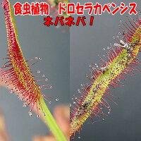 観葉植物面白植物食虫植物イトバモウセンゴケ