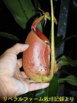 生産温室から直送!食虫植物ネペンテスビカルカラータ