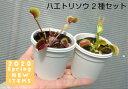 リベラルファームで買える「【食虫植物】 ハエトリソウ 2種セット」の画像です。価格は1,900円になります。