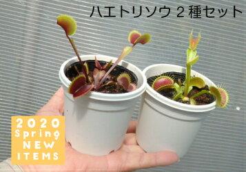 【食虫植物】ハエトリソウ2個セット