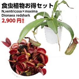 食虫植物2種セットベントリコーサ×マキシマハエトリソウレッドシャーク(大)