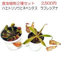 【観葉植物】【食虫植物】ハエトリソウレッドシャーク【自由研究】
