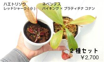 生産温室直送食虫植物ネペンテスミラビリスグロボサxラフレシア
