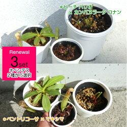 【送料無料】【観葉植物】【食虫植物】3種セットネペンテス+サラセニア+ハエトリソウ