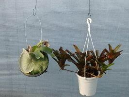 【面白植物】ビカクシダコウモリランスパーバム