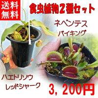 生産温室から直送!食虫植物ネペンテスバイキング初めての方にもお勧め
