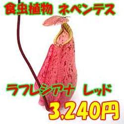 日本に最初に来たと言われるネペンテス ラフレシアナ鉢サイズ4号生産温室から直送!食虫植物...