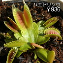 【食虫植物】ハエトリソウ普及種(小)
