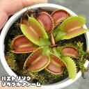 【食虫植物】 ハエトリソウ リベラルファーム