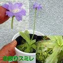 食虫植物 虫取りスミレ プリムリフローラ 開花中 - リベラルファーム