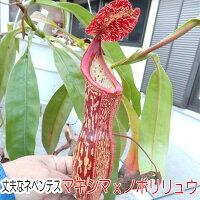 生産温室から直送!食虫植物ネペンテスマキシマxノボリリュウ