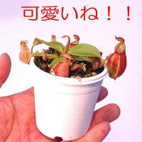 生産温室直送食虫植物ネペンテスフーケリアナ斑点xバイキング現物ストライプ