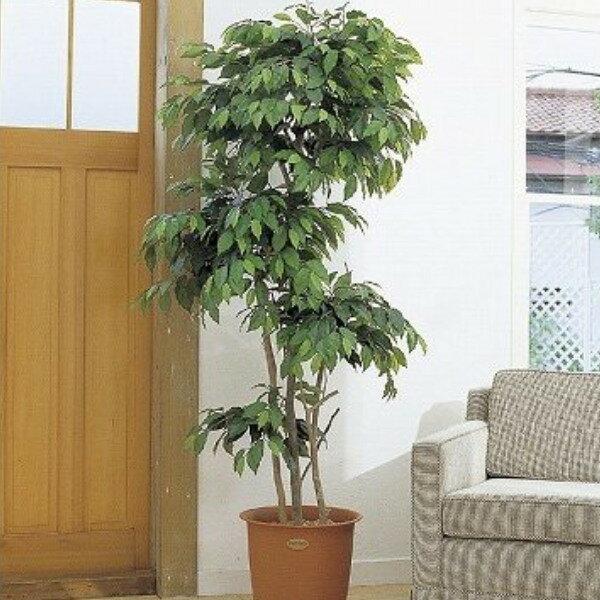 人工観葉植物 ピュアメイト フィカス・ベンジャミン 150cm( 光触媒 消臭 インテリア 大型 ):リビングート